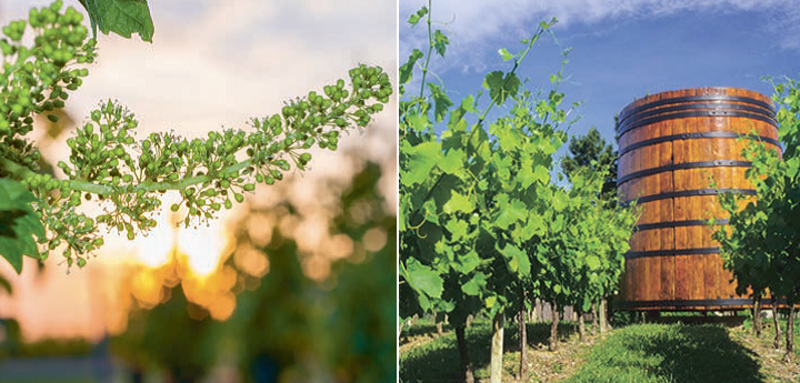 Grape vine in blossom in the Loire Valley (left), Roussillon vineyard with traditional oak wine (right)
